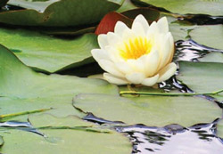 Stress Reduction Activity Photo - Yellow Lotus